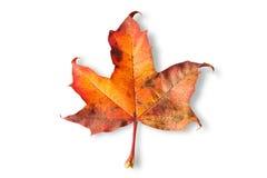 изолированная предпосылкой белизна клена листьев Стоковая Фотография RF