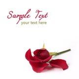 изолированная проигрышная белизна розы красного цвета лепестков Стоковая Фотография RF