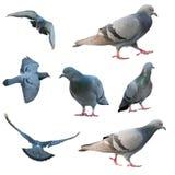 Изолированная птица голубя летания Стоковое Изображение