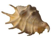 изолированная раковина моря Стоковые Изображения