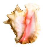изолированная рисуночная раковина моря Стоковое Фото