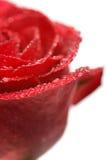 изолированная роза влажная Стоковое Фото