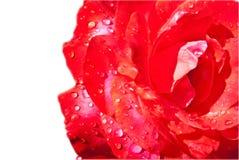 изолированная роза влажная Стоковая Фотография