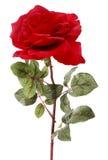 изолированная роза одиночная Стоковое фото RF