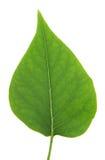 изолированная сирень листьев Стоковые Изображения