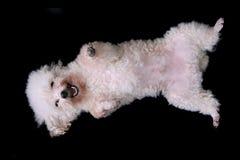 изолированная собака Стоковое Изображение RF