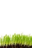 изолированная трава Стоковая Фотография RF