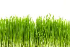 изолированная трава Стоковое фото RF