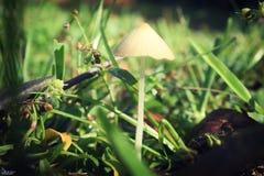 изолированная травой белизна гриба стоковая фотография
