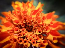 изолированная цветком белизна ноготк Стоковые Изображения