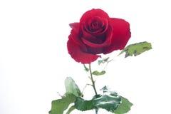 изолированная цветком белизна розы красного цвета Стоковое Изображение RF