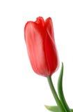 изолированная цветком белизна тюльпана стоковое фото