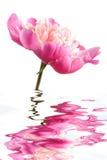 изолированная цветком вода peony розовая отражая Стоковые Фотографии RF