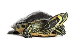 Изолированная черепаха слайдера пруда, Стоковая Фотография RF