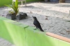 Изолированная черная ворона на зеленой стене стоковые изображения