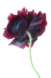 изолированная чернотой белизна мака paeony стоковые изображения rf