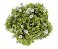 изолированная bush белизна взгляда сверху peony бесплатная иллюстрация