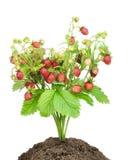 изолированная bush клубника почвы стоковое изображение