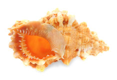изолированная clam белизна раковины моря Стоковые Фото