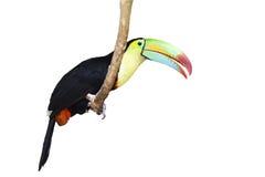 изолированная toucan белизна Стоковые Фото
