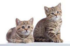 2 изолированного scottish котят чисто striped породой Стоковые Изображения RF