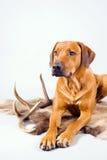 изолированное звероловство собаки Стоковые Изображения RF