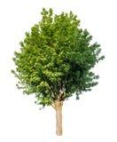 Изолированное зеленое дерево на чисто белой предпосылке стоковые фотографии rf
