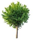 Изолированное зеленое дерево на чисто белой предпосылке стоковое изображение rf