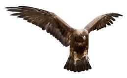изолированное золотистое орла Стоковые Фото