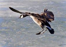 Изолированное изображение с посадкой гусыни Канады Стоковое фото RF