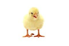 изолированное испражнение цыпленока Стоковая Фотография RF