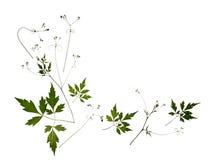 изолированное листво Стоковое Фото