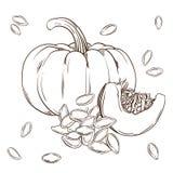 Изолированное реалистическое тыквы и семян Иллюстрация вектора еды Заводы чертежа руки иллюстрация штока