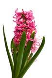 изолированное hyacinthus цветка Стоковая Фотография