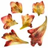 Изолированные высушенные листья гладиолуса Стоковая Фотография