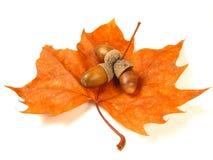 изолированные гайки листьев стоковые изображения