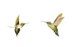 Изолированные колибри. Стоковые Фото