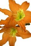 изолированные лилии померанцовые Стоковое фото RF