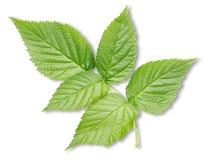 Изолированные листья поленики Стоковые Фотографии RF