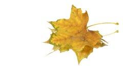 изолированные листья Стоковые Изображения