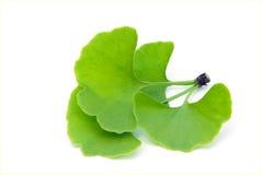 Изолированные листья Ginkgo Стоковое Изображение