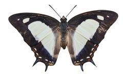 Изолированные общие athamas Polyura бабочки nawab на белизне Стоковые Изображения