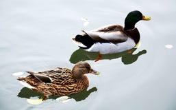 Изолированные пары сладостных уток на пруде, естественное изображение Стоковая Фотография RF