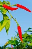 Изолированные перцы горячего chili Стоковое Изображение