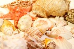 изолированные раковины моря Стоковое Изображение