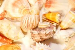 изолированные раковины моря Стоковая Фотография RF