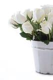 изолированные розы белые стоковая фотография