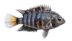 Изолированные рыбы аквариума Взгляд со стороны Cichlid, striped зебра Стоковые Фото