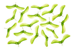 изолированные семена клена Стоковое Изображение RF