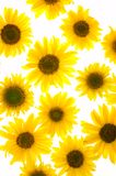 изолированные солнцецветы стоковые фотографии rf